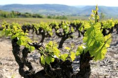 Wijngaard in Franse Ardeche stock afbeeldingen