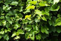 Wijngaard Groene stelen en wijnstokbladeren Stock Afbeelding
