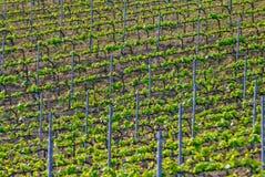 Wijngaard in het Italiaans platteland Stock Foto's