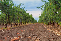 Wijngaard in het wijngebied Royalty-vrije Stock Foto's