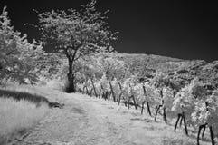 Wijngaard in Infrared Stock Afbeelding