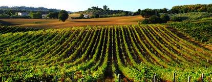 Wijngaard in Italië Stock Afbeeldingen