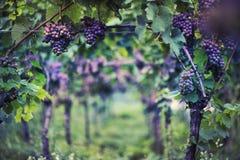 Wijngaard in Italië Stock Foto