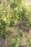 Wijngaard in Italië bij zonsondergangachtergrond Royalty-vrije Stock Fotografie