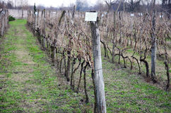 Wijngaard in Kakheti-wijngebied, Georgië, Alazani-Vallei Stock Foto