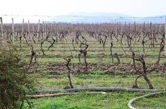 Wijngaard in Kakheti-wijngebied, Georgië, Alazani-Vallei Stock Afbeeldingen
