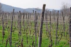 Wijngaard in Kakheti-wijngebied, Georgië, Alazani-Vallei Stock Afbeelding
