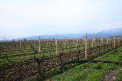 Wijngaard in Kakheti-wijngebied, Georgië, Alazani-Vallei Royalty-vrije Stock Afbeeldingen