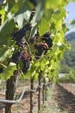 Wijngaard klaar te oogsten Stock Afbeelding