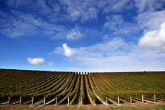Wijngaard - Landschap Royalty-vrije Stock Afbeelding