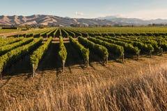 Wijngaard in Marlborough, Nieuw Zeeland royalty-vrije stock foto