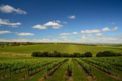 Wijngaard in McLaren-Dal Stock Afbeeldingen