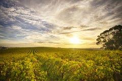 Wijngaard in McLaren-Dal, Zuid-Australië Royalty-vrije Stock Afbeeldingen