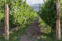 Wijngaard in Mendoza Argentinië stock foto