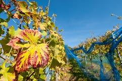 Wijngaard met blauwe netto Stock Foto's