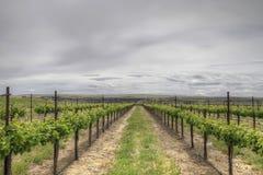 Wijngaard met de Druiven van Sauvignon Blanc Royalty-vrije Stock Foto