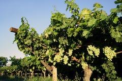 Wijngaard met druiven Royalty-vrije Stock Afbeeldingen