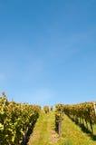 Wijngaard met een blauwe hemel Stock Afbeelding