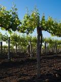 Wijngaard met jonge wijnstok Stock Fotografie