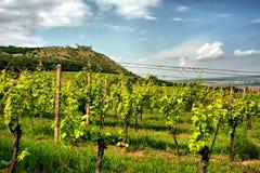 Wijngaard met middeleeuwse ruïne royalty-vrije stock afbeelding