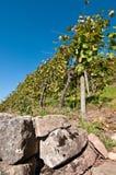 Wijngaard met muur Stock Foto