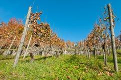 Wijngaard met muur Stock Afbeelding