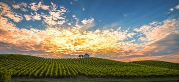 Wijngaard met rijen van wijnstok in zonsopgang, zonsondergang met de oude bouw, villa bovenop de traditionele wijnstokwerf, stock afbeelding