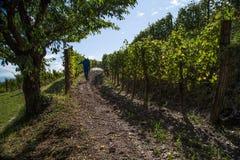 Wijngaard met rijpe druiven Stock Fotografie