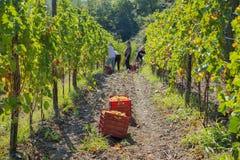 Wijngaard met rijpe druiven Stock Foto