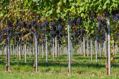 Wijngaard met rijpe druiven Stock Foto's