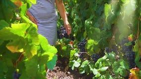Wijngaard met rode druif stock video