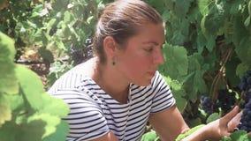 Wijngaard met rode druif stock videobeelden