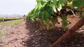 Wijngaard met rode druif stock footage