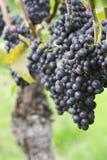 Wijngaard met rode druiven Royalty-vrije Stock Foto's