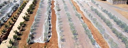 Wijngaard met vogelnetten, McLaren-Dal Stock Afbeeldingen