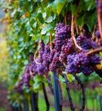 Wijngaard met wijnstokken stock afbeelding