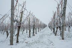 Wijngaard met wijnstokken in de winter stock afbeelding