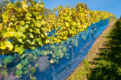 Wijngaard met wijnstokken en blauwe netto stock fotografie