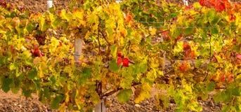 Wijngaard in mooie kleuren aan het eind van de oogst royalty-vrije stock foto
