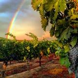 Wijngaard na Regenval Stock Afbeeldingen