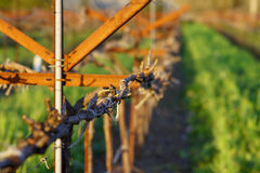 De Wijngaard van Napa in de Winter Royalty-vrije Stock Afbeelding