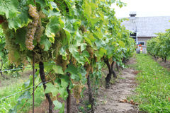 Wijngaard in niagara-op-de-Meer, Ontario, Canada Royalty-vrije Stock Fotografie