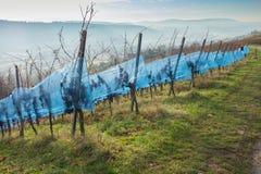 Wijngaard in november met druiven Stock Foto's