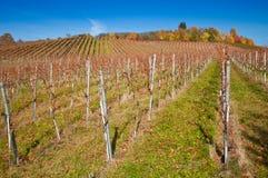 Wijngaard in Oktober Stock Foto