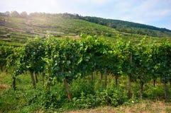 Wijngaard op de hellingen van de bergen stock fotografie