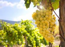 Wijngaard op een achtergrond van bergen stock fotografie