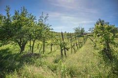 Wijngaard op een heuvel met lange gras en boom Stock Afbeelding