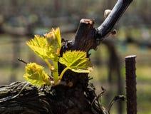 Wijngaard op plattelandsgebied in de vroege lente Stock Fotografie