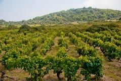Wijngaard op Vis Island, Kroatië stock fotografie