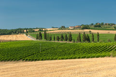 Wijngaard in Orcia Vallei, Toscanië Royalty-vrije Stock Foto